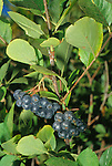 10985-CE Glossy Black Chokeberry, Aronia melanocarpa, edible fruit good in jam, at Mourning Cloak Ranch & Botanical Garden, Tehachapi, CA USA
