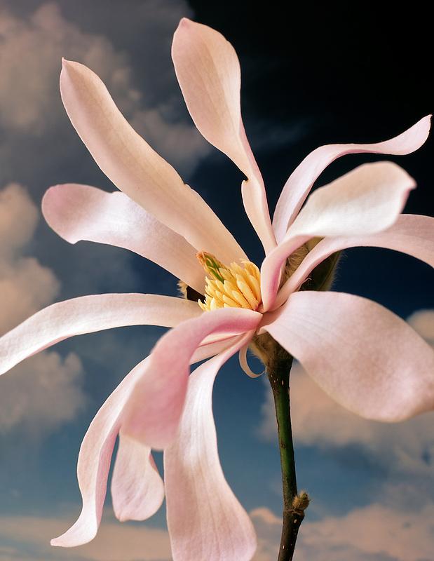 Magnolia with cloudy sky. Magniola loebnen Lenard Messel. Oregon.