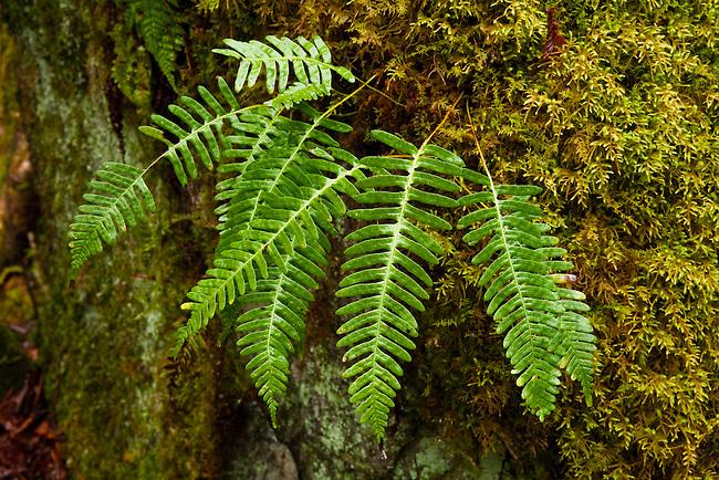 Common polypody (Polypodium virginianum L) in spring, Rocky Fork
