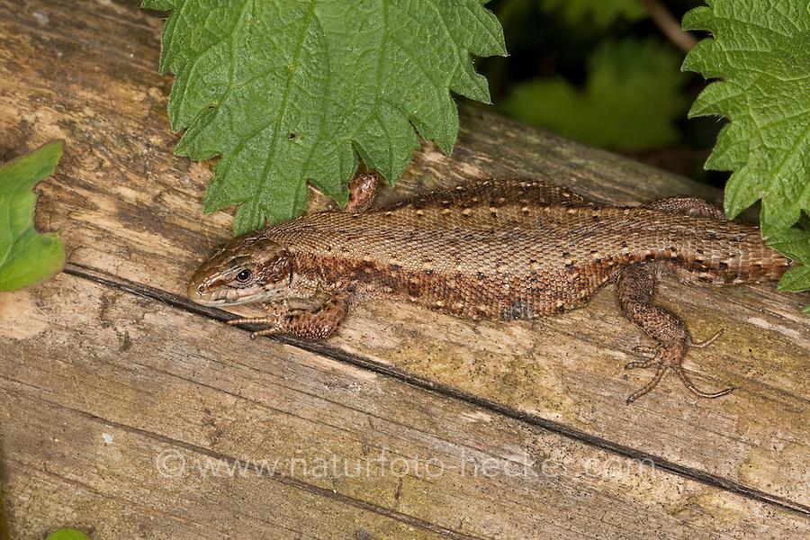 Waldeidechse, Mooreidechse, Bergeidechse, Wald-Eidechse, Moor-Eidechse, Berg-Eidechse, trächtiges Weibchen, Lacerta vivipara, Zootoca vivipara,  viviparous lizard, European common lizard