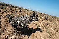 old vine sandy soil Bodega La Setera, DO Arribes del Duero spain castile and leon