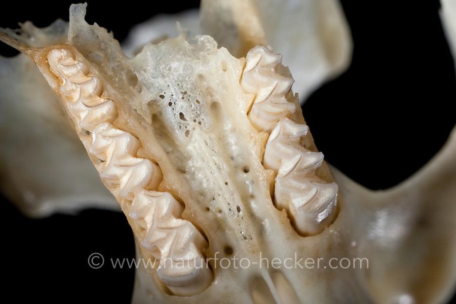 Untersuchung von einem Gewölle einer Eule, Schleiereule, Speiballen, Blick in den Oberkiefer, Schädel mit den Zahnreihen, Zähnen, Zahn als unverdauliche Nahrungsreste, die unverdauten Knochen als Nahrungsreste wurden aus einem Geölle heraus sortiert, Schleiereule hat eine Maus gefressen