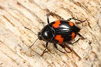 Vierfleckiger Kahnkäfer, Scaphidium quadrimaculatum, Shining Fungus Beetle, Kahnkäfer, Scaphidiinae