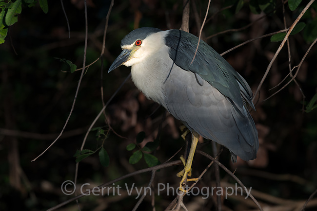 Black-crowned Night-Heron (Nycticorax nycticorax). Big Cypress National Preserve, Florida. March.