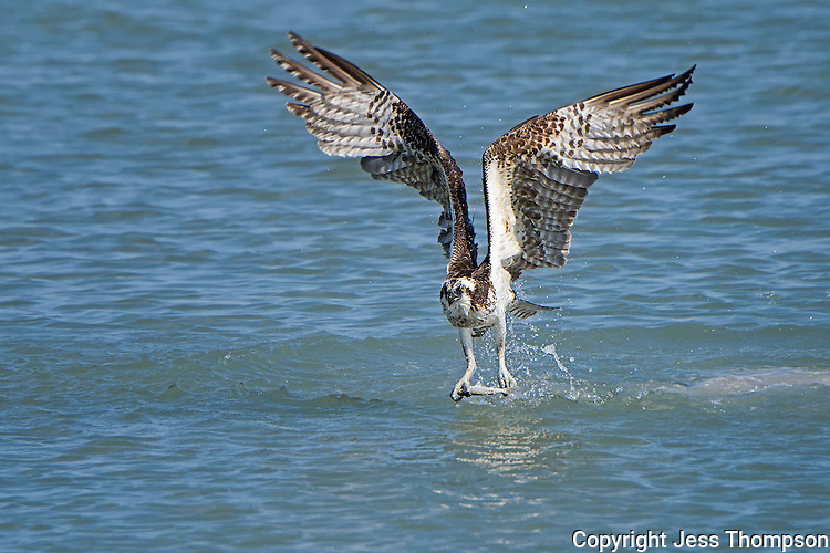 Osprey leaves water with fish.