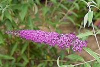 Butterfly Bush Buddleja davidii 'Royal Purple' TN36