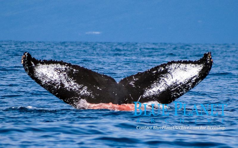 humpback whale, Megaptera novaeangliae, excreting, Big Island, Hawaii, USA, Pacific Ocean