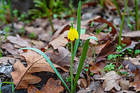 Yellow Bell (Fritillaria pudica) wildflower among fallen oak leaves.  Found early spring (these in mid February) in Columbia River Gorge, WA.