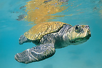 Kemp's ridley sea turtle, Lepidochelys kempii, critically endangered species, Mexico, Gulf of Mexico, Caribbean Sea, Atlantic Ocean (c)