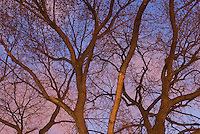 Various Species of Trees, Spring Buds on Branches,  Illuminated by Street Lights at Dusk, Union Square Park, Lower Manhattan, New York City, New York State, USA