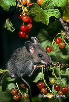 MU50-102z   Deer Mouse - young adult eating berries - Peromyscus maniculatus