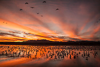 North America, USA, New Mexico, Bosque Del Apache National Wildlife Refuge, snow geese sunset