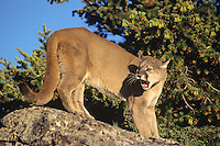 Mountain lion or cougar (Felis concolor) snarling.  Western U.S.