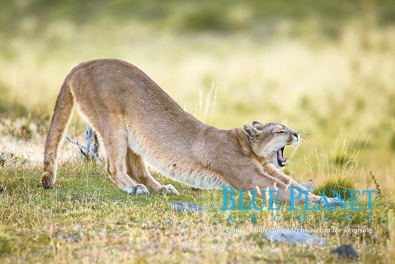 Puma (Puma concolor) adult, yawning and stretching, Torres del Paine National Park, Patagonia, Chile, South America