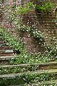 Erigeron karvinskianus, Lutyens steps, Great Dixter, early June.