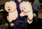 Bichon Frises Crufts Dog Show 1990s National Exhibition Centre Birmingham UK. Competitive hobby woman pet owner  1991 <br /> <br /> BOOBOO AND SONNY, BICHON FRISES, WITH MRS MACLEOD.,