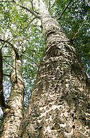 Silber-Pappel, Silberpappel, Pappel, Rinde, Borke, Stamm, Korkwarzen, Populus alba, White Poplar, bark, rind