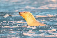 Young male Polar Bear (Ursus maritimus) cranes his long neck to sniff out the shore just in front of him. He was surface swimming, with only his head visible, so when he struck this pose it reminded us of a periscope on a submarine. Granted this periscope is mostly horizontal.