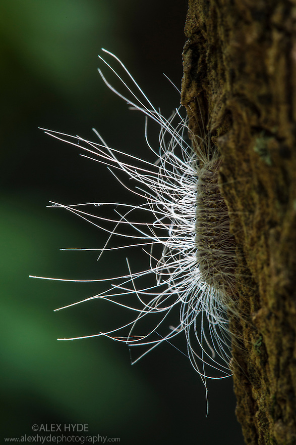 Caterpillar covered in defensive urticating hairs that can cause severe itching. San Jose, Costa Rica. May.