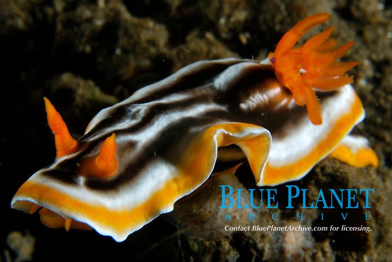 Nudibranch, Chromodoris magnifica, Dumaguete, Negros Island, Philippines