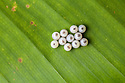 Owl Butterfly {Caligo sp.} eggs on banana leaf. Captive, originating from Central and South America. website