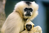 White-cheeked gibbon or Crested Gibbon female with young (Hylobates concolor)