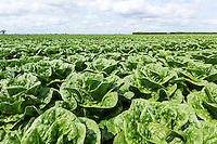 Early crop of Romaine lettuce - Lincolnshire, May