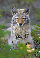 COYOTE in spring coat..Rocky Mountains..(Canis latrans).
