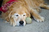 Golden retriever with red bandana sleeping beside tennis ball, Maine USA