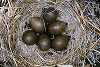 Rotkehlpieper, Rotkehl-Pieper, Nest, Gelege mit Eiern, Anthus cervinus, red-throated pipit