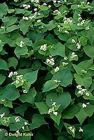 HS63-032x  Buckwheat - cover crop - Fagopyrum esculentum