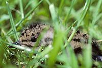 Kievit (Vanellus vanellus) juv. drukkend