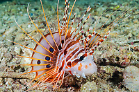 spotfin lionfish or broadbarred firefish, Pterois antennata, Raja Ampat Islands, West Papua, Indonesia, Indo-Pacific Ocean
