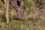 Young white-tailed buck with a growth under his chin.