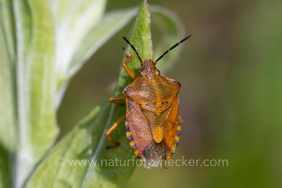 Purpur-Fruchtwanze, Purpurfruchtwanze, Fruchtwanze, Carpocoris cf. purpureipennis, shield bug, Österreich, Kärnten
