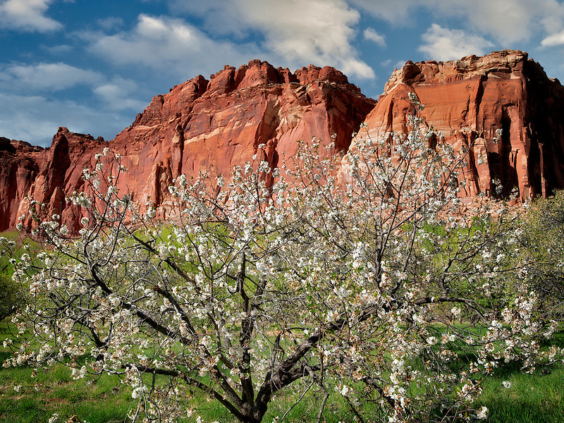 Apple blossoms and cliffs. Fruita, Capitol Reef National Par,k. Utah