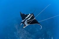 oceanic manta ray, Mobula birostris, formerly Manta birostris, entangled with ropes, Azores, Princess Alice Bank, Atlantic Ocean, Portugal