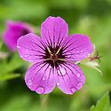 Geranium 'Patricia', early June. Raised in the Orkneys (G. endressii x G. psilostemon) by Alan Bremner and named after Patricia Doughty.  Large magenta flowers with a dark centre over most of the summer.