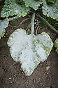 Powdery mildew on courgette foliage, early August.