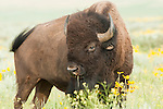 A bison grazing among wildflowers in Grand Teton National Park, Wyoming.