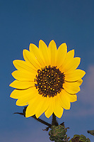Sunflower (Helianthus sp.), blooming with dew, Welder Wildlife Refuge, Rockport, Texas, USA