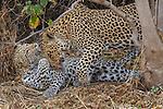 Leopard (Panthera pardus), Mashatu, Botswana