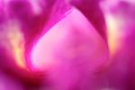 close-up / macro photograph of a magenta cattleya orchid