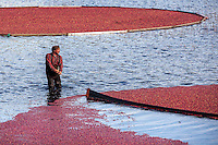 After flooding a bog, Cape Cod cranberry grower, Ray Thacher, corrals cranberries using a boom.