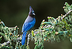 Steller's jay, Vancouver Island, British Columbia, Canada
