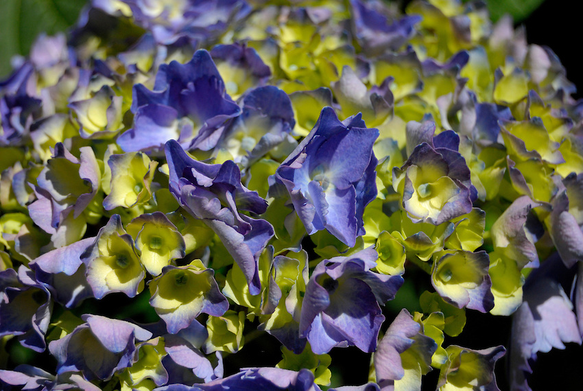 Colors of Hydrangea - Invercargil, NZ