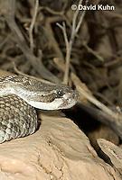 0419-1003  Southern Pacific Rattlesnake (Black Diamond Rattlesnake, Pacific Rattler), Southwest California, Crotalus oreganus helleri (syn. Crotalus viridis helleri)  © David Kuhn/Dwight Kuhn Photography.