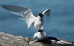 Endangered Roseatte Terns mating
