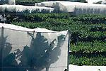 Spain, Canary Islands, La Palma, banana plantations and green houses