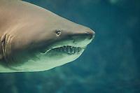 Sandtigerhai, Sandtiger, Sand-Tigerhai, Grauer Sandhai, Sandhai, Schnauzenhai, Hai, Haie, Carcharias taurus, Carcharhinus taurus, Charcharias taurus, sand tiger shark, sandtiger shark, grey nurse shark, spotted ragged-tooth shark, blue-nurse sand tiger, sand shark, sherk, sharks